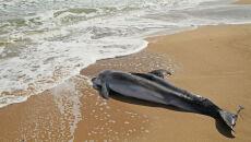 Delfiny masowo giną u wybrzeży USA