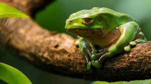 30-latka zmarła po użyciu wydzieliny żaby amazońskiej