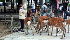 Jelenie są atrakcją turystyczną Parku Nara (John Hill/Wikipedia (CC BY-SA 4.0))