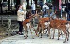 Jelenie wschodnie w Parku Nara