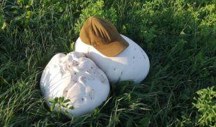 Niebywałe skupisko. Jedne z największych grzybów świata wyrosły w Nadleśnictwie Augustów