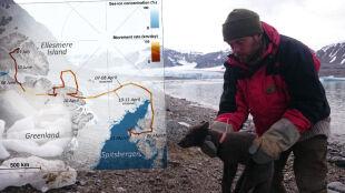 Z Norwegii do Kanady. Lisica pokonała ponad trzy tysiące kilometrów