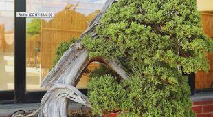 W Japoni skradziono drzewka bonsai